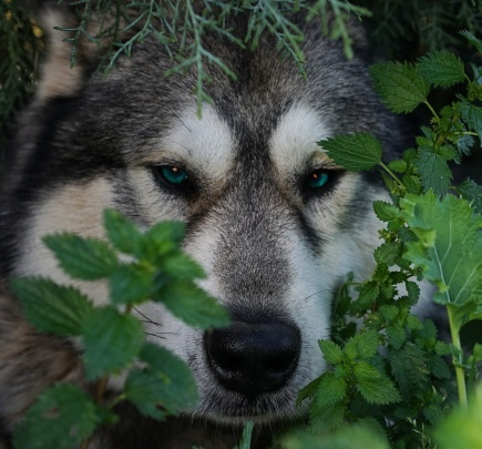 face-the-wolf
